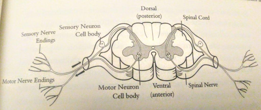 Синапс: движение нервных сигналов