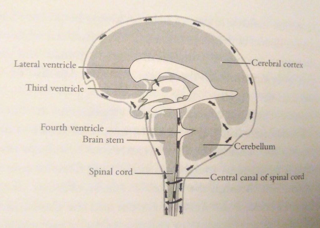 Движение спинно-мозговой жидкости