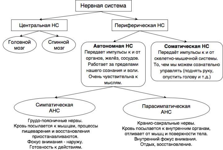 Нервная система: классификация